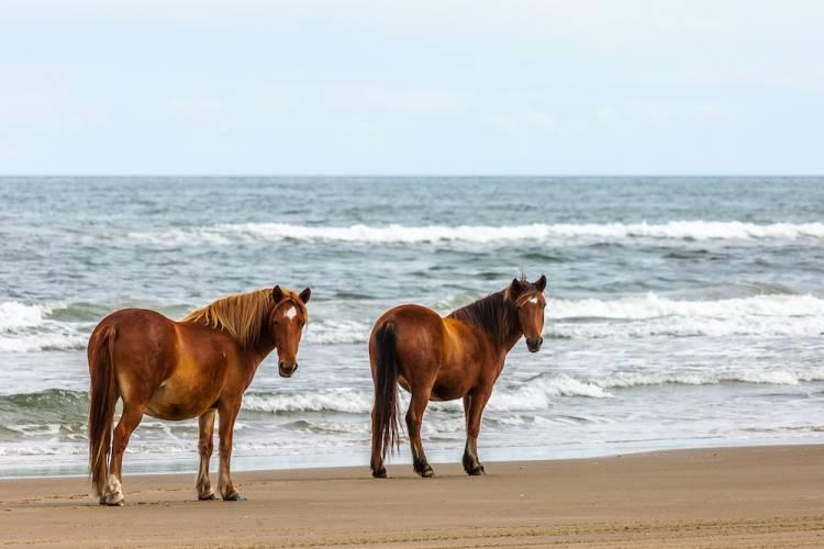 Two wild horses in Corolla, NC
